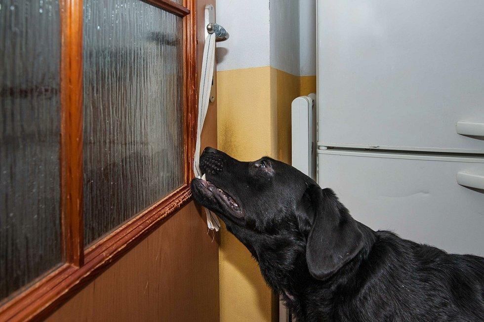 Asistenční labrador Andy při výcviku v chovné stanici  BRI - COL v Oseku.