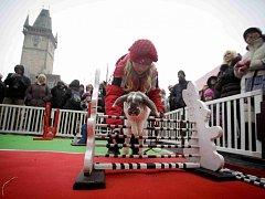 Soutěž s živými králíky, kteří skákali přes překážky proběhla v rámci Dne rekordů a kuriozit 27. března na pražském Staroměstském náměstí.