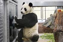 Panda velká.