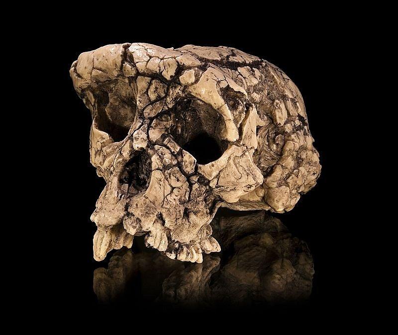 Odlitek originálního nálezu sedm milionů let staré lebky hominida, zvaného Sahelanthropus tchadensis (Sahelský člověk z Čadu či Sahelantrop čadský). Lebce se přezdívá Toumaï, což znamená Naděje života