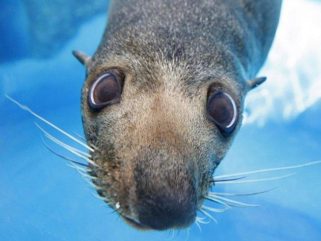 Lachtani Forsterovi jsou považováni za ohrožený druh. Žijí podél jižního pobřeží Austrálie a u břehu novozélandského Jižního ostrova.