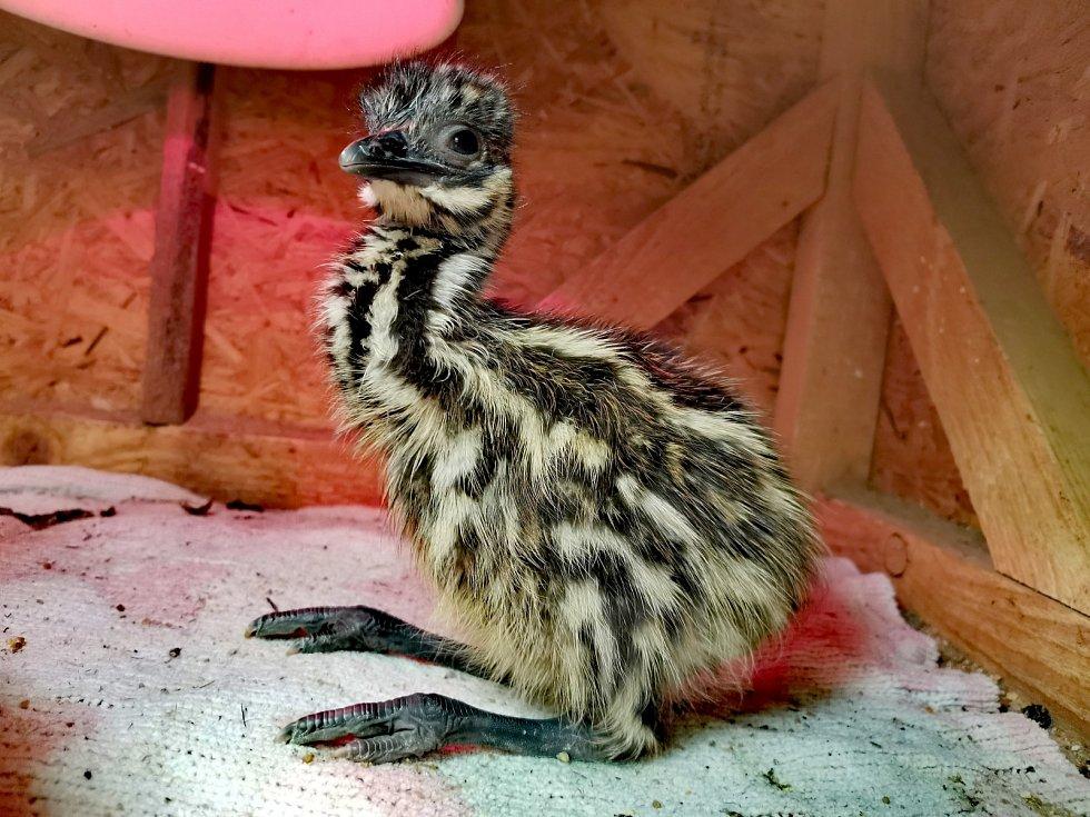 Emu hnědy, ZOO Tábor