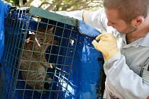 Na Korsice žije podivná kočkoliška. Jedná se o dosud neobjevený druh?