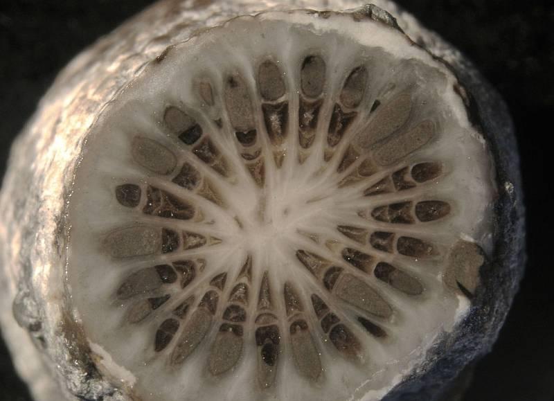 Průřez zkamenělým korálem Stereolasma rectum, pocházejícím z vyhynulého řádu devonských korálů Rugosa