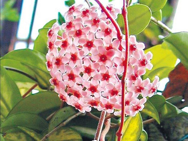 Voskovky bohatě kvetou v našich bytech od července do října.