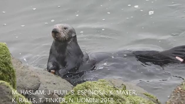 Vydry používají k rozbíjení schránek mořských živočichů kameny