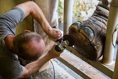 Ošetřovatelé v zoologické zahradě ve Dvoře Králové nad Labem prováděli 3. října slonům pedikúru. S pomocí elektrické brusky, koňského kopytního nože nebo rašple odstranili přerostlá kopyta a kůži. Pedikúru chodidel sloni podstupují každé tři měsíce.