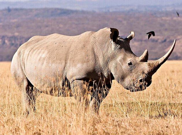 Na světě žije posledních několkik kusů těchto mohutných tvorů.