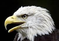 Symbol Ameriky - orel bělohlavý - je zachráněn. Aspoň prozatím.