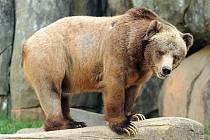Medvěd grizzly.