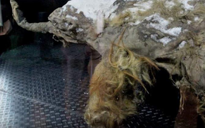 Mamut objevený vroce 2010na Sibiři měl neobvykle zachovaný mozek.