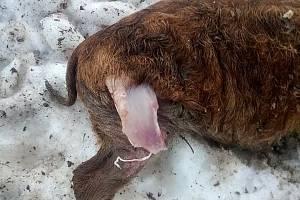 Po útoku vlků zbyla jen roztrhaná podsvinčata a stopy ve sněhu.  Foto: archiv M. Puchty