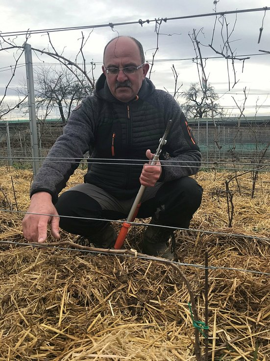 Vinař Oldřich Palička ukazuje, jak správně připravit révu na novou sezonu.