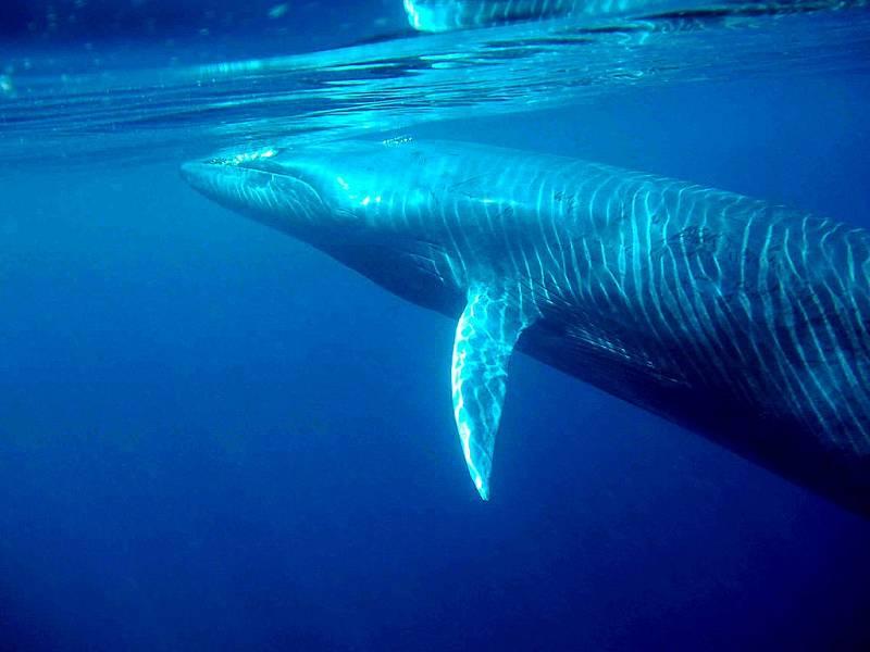 Plejtváci Brydeovi patří dosud mezi poměrně málo prozkoumané mořské savce