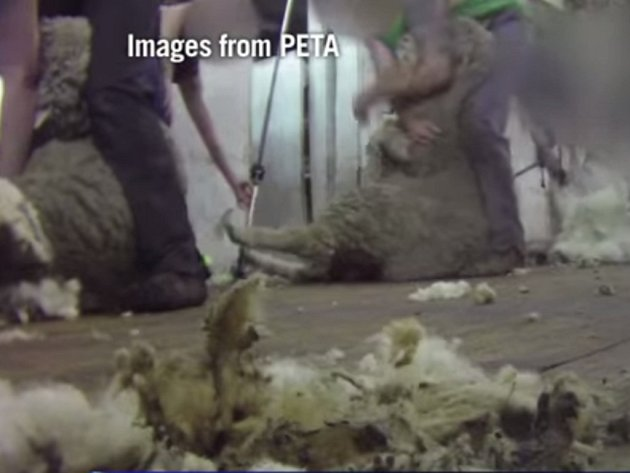 Ochránci zvířat zveřejnili otřesné videozáznamy neskutečného týrání ovcí střihači vlny na jihoaustralských farmách.