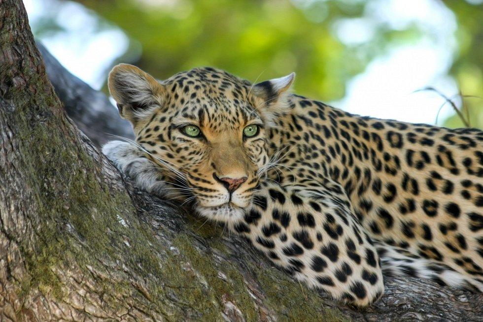 Levhart splývá s okolím díky svému zbarvení.