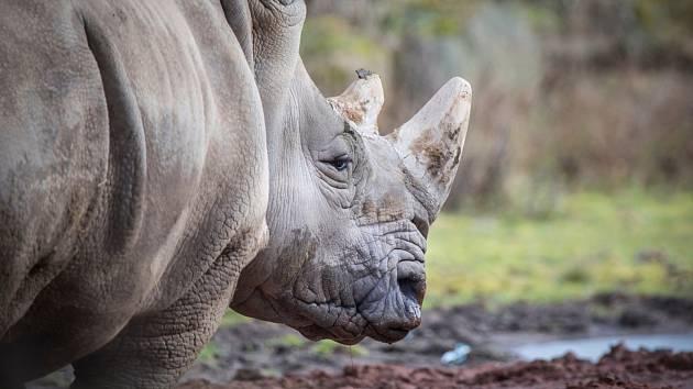 Nosorožec tuponosý severní