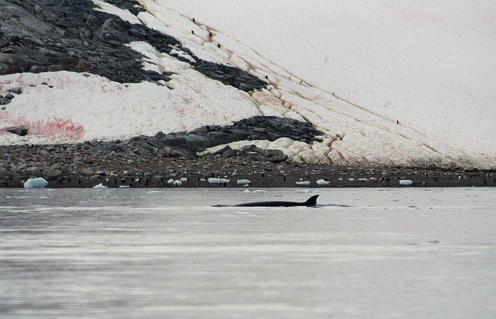 Plejtvák jižní u pobřeží Antarktidy.