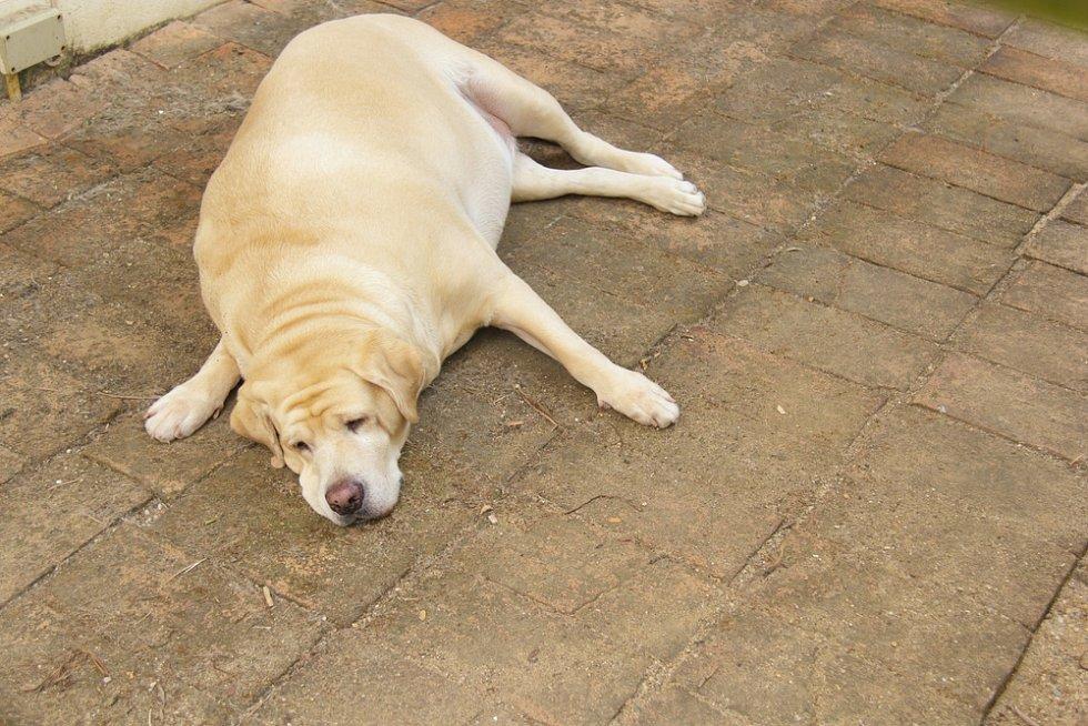 Téměř desetina psů má obrovský problém. Trpí obezitoua mohou se potýkat s cukrovkou.