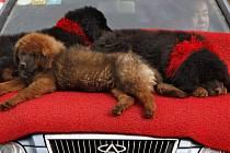 Tibetský mastif - štěňata.