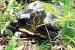 Jihomoravskou faunu v posledních letech rozšířila například želva nádherná.