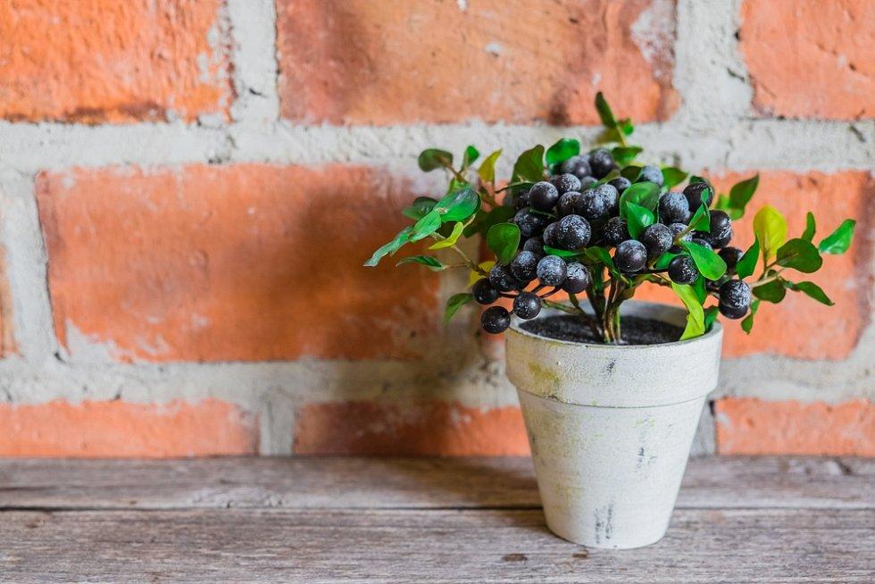 Pěstování oblíbených borůvek je poměrně jednoduché, měli byste však vědět, že keřík potřebuje kyselejší půdu.