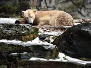 Lední medvídě, které se v zoo narodilo před dvěma měsíci, je sameček.
