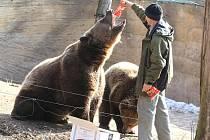Medvědi z plzeňské zoo se probudili ze zimního spánku. U výběhu pro ně přichystal piškoty ošetřovatel Václav Trejbal, mj. služebně nejstarší zaměstnanec plzeňské zahrady.