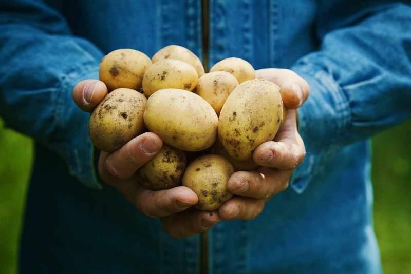 Ilustrační foto - brambory
