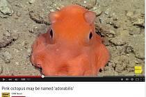 Nový druh chobotničky, která je podle vědců tak roztomilá, že by mohla dostat vědecké jméno Opisthoteuthis Adorabilis - chobotnice rozkošná.