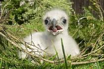 Mládě orla skalního ve věku necelých 2 týdnů