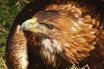 Samice orla skalního Dina