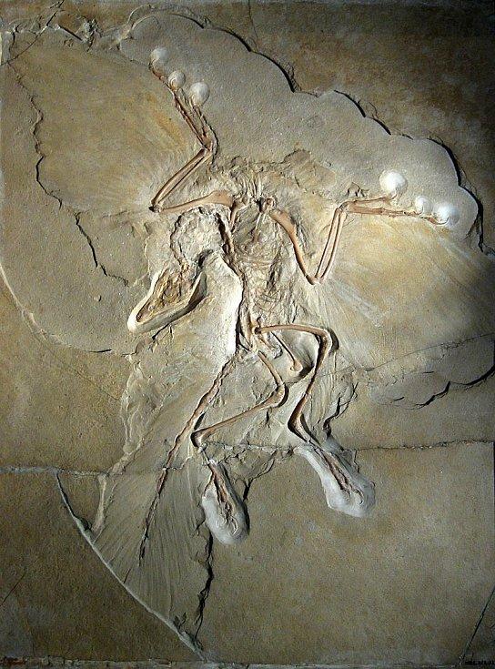 """""""Berlínský exemplář"""" druhu Archaeopteryx lithographica"""