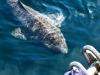 Žralok grónský