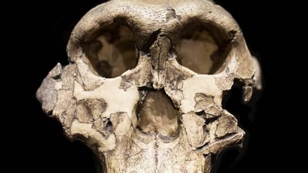 Lebka australopitéka východoafrického, od jejíhož nálezu uplynulo 60 let
