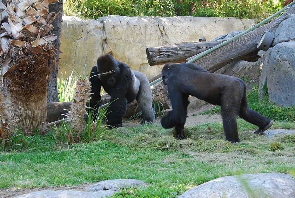 Dvě gorily začaly minulý týden kašlat, ilustrační foto