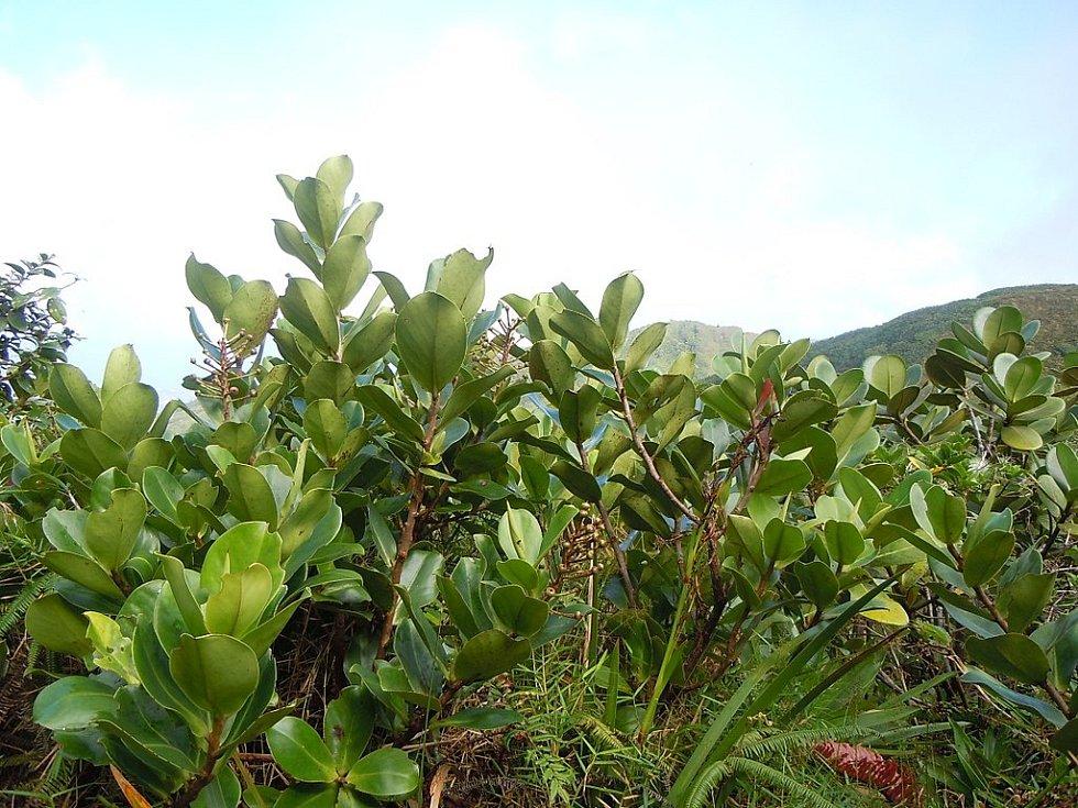 Další rostlinou typickou pro svahy pod sopkou La Soufriere je clusia mangle