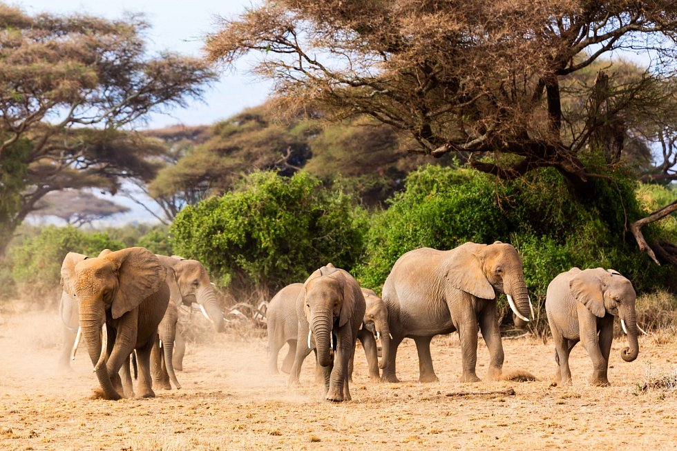 Stádo slonů v keňském národním parku Amboseli