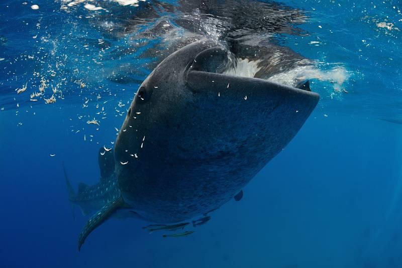Fotografie odeslané do The Wildbook for Whale Sharks jsou analyzovány algoritmem, který skenuje skvrny a pruhy na kůži ryby.