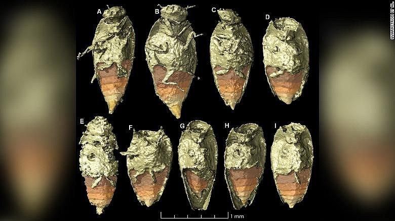 Brouček je prvním hmyzem popsaným ze zkamenělých exkrementům