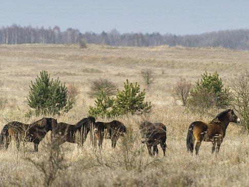 Milovičtí divocí koně