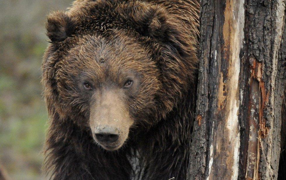 Medvěd hnědý - ilustrační foto