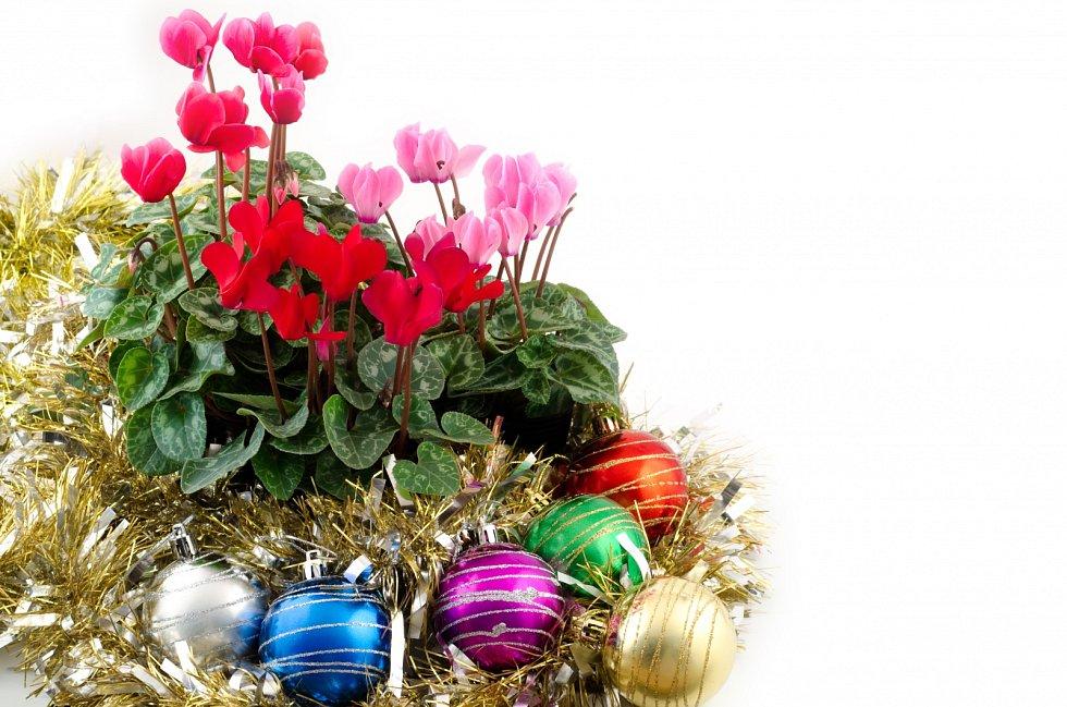 Pokud víte, že bramboříku můžete dopřát místo se správnou teplotou, pořiďte si rostlinu s poupaty, která v chladu rozkvetou.