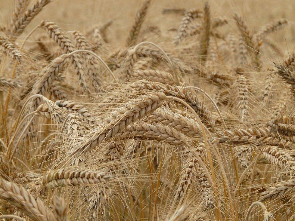Život v obilí