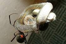 Had, kterého ulovila obávaná černá vdova