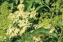 Léčebné účinky mají u bezu květy, kůra i plody.