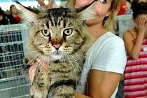 Kočka sibiřská.