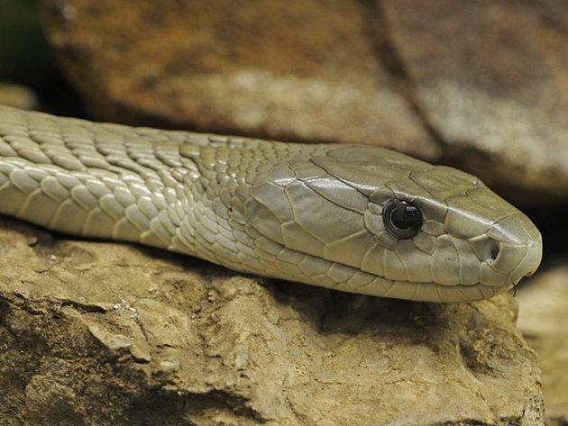 Na západě Německa uštkla chovatele mamba černá, což je jeden z nejjedovatějších hadů světa.