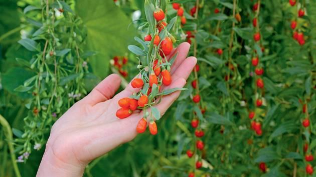 Pro léčivé účely se využívají především plody, ale zlistí si čaj připravit samozřejmě můžete. Listy můžete také vylepšit chuť čajových směsí.