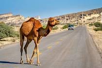 Velboud na silnici (ilustrační snímek)